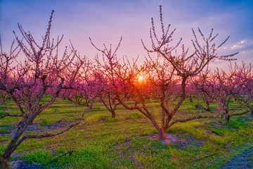 orchard of peach trees in bloomed in spring