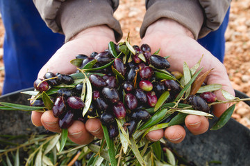 Photo sur Aluminium Oliviers Harvest of olives