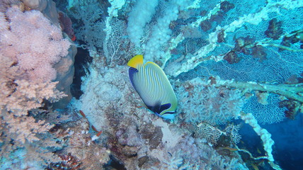 A beautiful Emperor Angelfish (Pomacanthus imperator) swimming in front of beautiful hard corals at the panorama reef in the Red Sea in Egypt