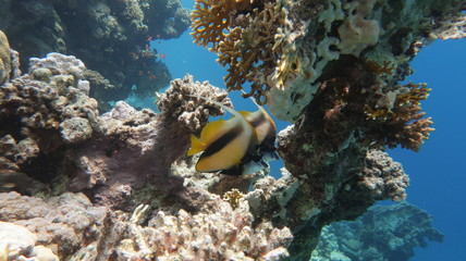 A couple of bannerfish or false moorish idol on a inctact reef in the Red Sea in Egypt
