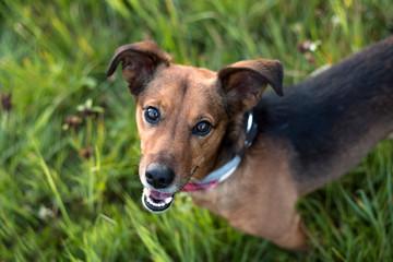 Portrait of a Terrier Dachshund Mix