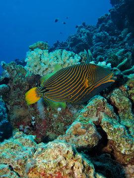 Orange-striped triggerfish (Balistapus undulatus)