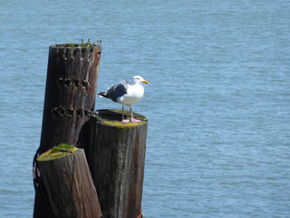 Gull sitting on a stump looking out on the ocean