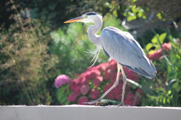 Gray heron on the edge of a bridge in close-up.