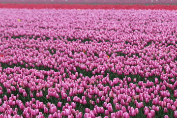 pink and red tulips in rows on  a flowerbulb field in Nieuwe-Tonge in the netherlands during springtime season