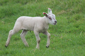 Cute lambs on the grass at meadows in springtime season in the Netherlands