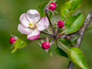 Beautiful pink apple blossom outdoors on tree. Closeup detail with narrow depth of field.