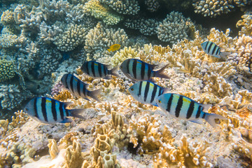 Underwater coral reef with group of tropical fish