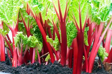 stems of red rhubarb