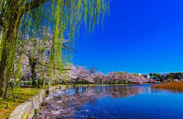 Foto auf Leinwand Dunkelblau [東京都] 上野公園の不忍池と桜 (No.9052)