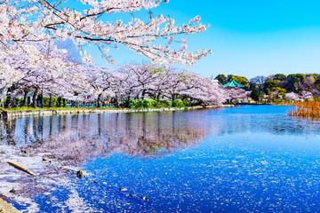 [東京都] 上野公園の不忍池と桜 (No.9061)