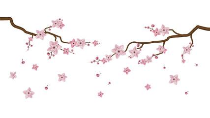 Sakura blossom flowers isolated on white background, vector illustrator