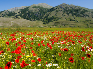 Foto op Plexiglas Blauw spring in the Matese mountains in Italy, field of poppies and daisies flowers, on the green meadow in the uncontaminated nature