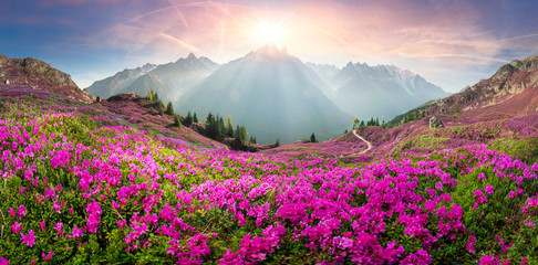 Photo sur Plexiglas Alpes Alpine rhododendrons on the mountain fields of Chamonix