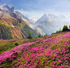 Fototapete - Alpine rhododendrons on the mountain fields of Chamonix