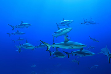 Grey reef sharks Wall mural