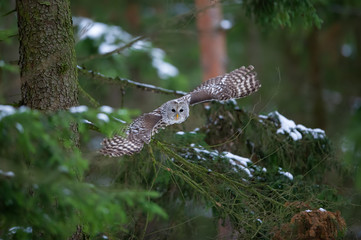 Fototapete - Tawny owl hunting and flying from coniferous tree