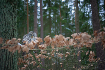 Fototapete - Tawny owl sitting on branch between orange leaves