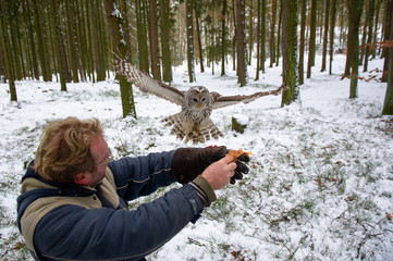 Wall Mural - Tawny owl landing on falconers arm in the winter inside forest