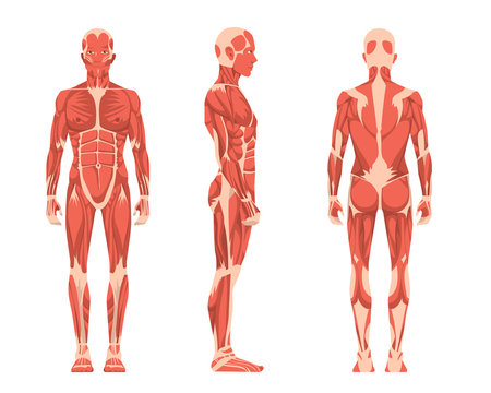 Vector illustration of three men. Cartoon realistic people illustartion. Flat young man. Front view man, Side view man, Back side view man. Anatomy of male muscular system.