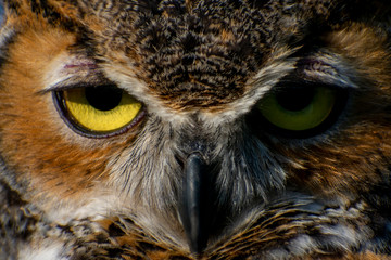 Great Horned Owl Close-Up Wall mural