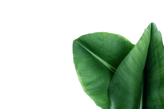 Fresh green banana leaves on white background, top view. Tropical foliage
