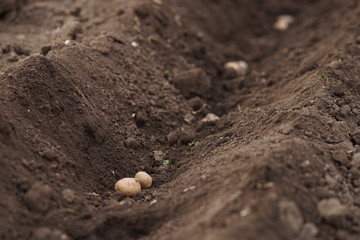 Soil and potatoes in the hole in a row. Planting a garden in the spring.