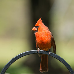 Fototapete - Red Cardinal in the garden