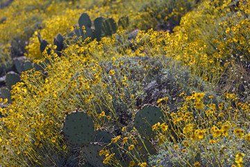 Blooming brittlebush and prickly pear cactus