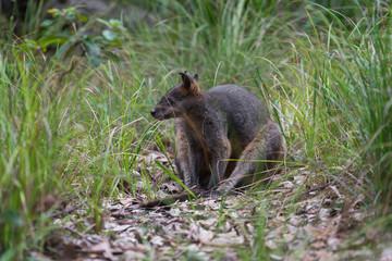 Black wallaby sitting in Australian bush