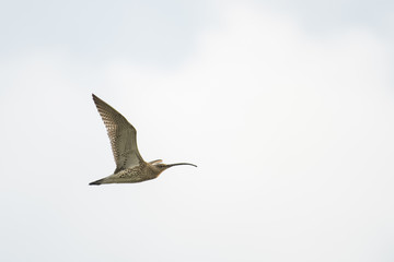 Wild eurasian curlew flying in front of a blue sky