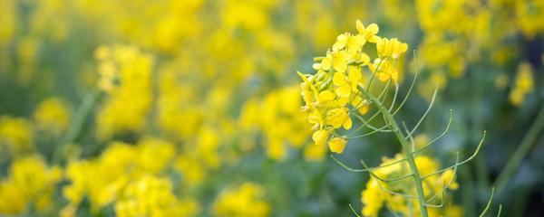 Canola flower field background 菜の花畑の背景