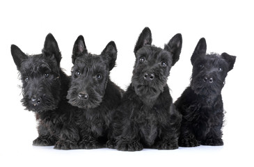 puppies scottish terrier