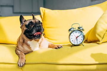 cute french bulldog lying near retro alarm clock on yellow sofa