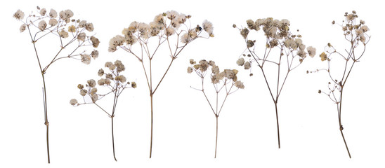 flat pressed dried flower pattern babybreath flower