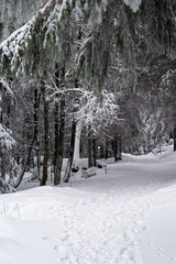 Footpath in a winter forest along pine trees