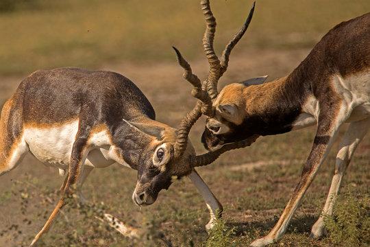 BlackBuck Territorial Fight and Locking Horns