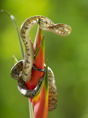 Corallus annulatus is a non-venomous boa species found in Central and South America. Three subspecies are currently recognized, including the nominate subspecies described here