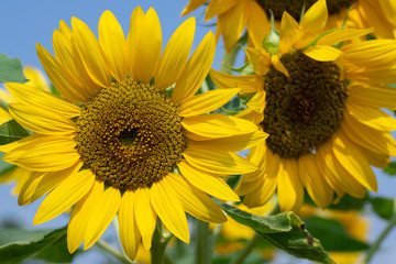 Sunflower in sunrise at flower garden with bee