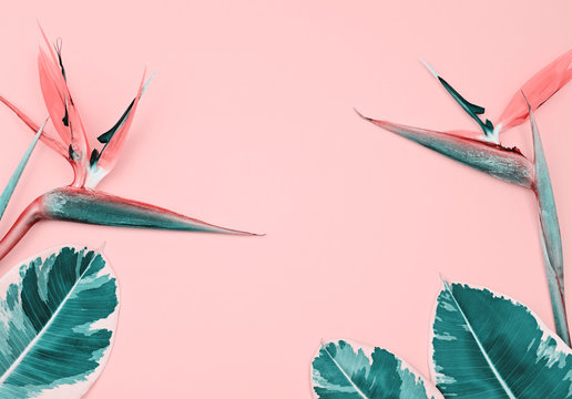 Colorful bright tropical pink pastel background with Bird of Paradise Flower or Strelitzia and copy space