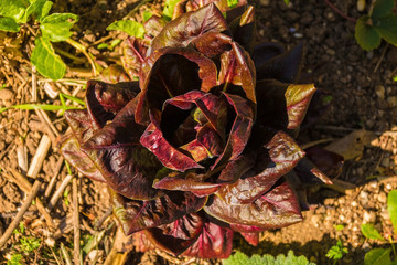 A Treviso Radicchio growing in a vegetable garden in north east Italy. A type of leaf chicory sometimes known as Italian Chicory