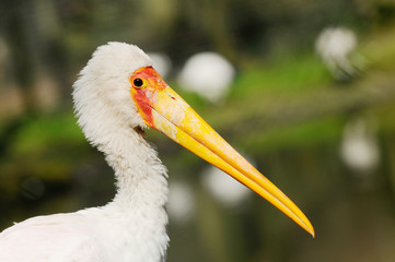 portrait from yellow billed stork