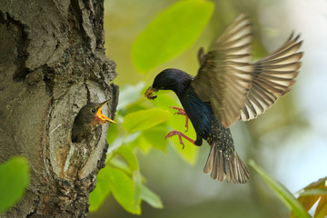 Spring scene, Common Starling, Sturnus vulgaris,  feeding chicks in nest hole with insect. Hardworking birds. Wildlife photography in Czech republic, Europe. Fotoväggar