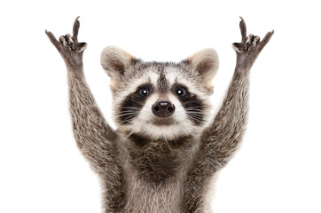Portrait of a funny raccoon showing a rock gesture isolated on white background.JPG Wall mural