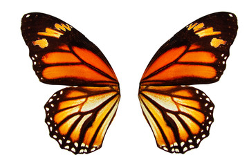 tropical butterfly wings isolated on white background.