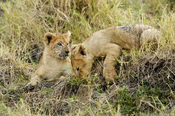 The lion cubs playing at Masai Mara, Kenya Wall mural