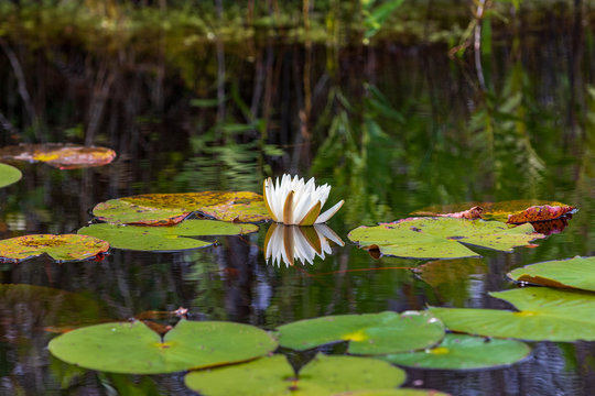 Water lily flower opening
