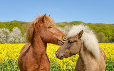 Icelandic horses nibbling their heads in a yellow flowering field of rapeseed in spring, a chestnut and a silver dapple colored pony, Germany