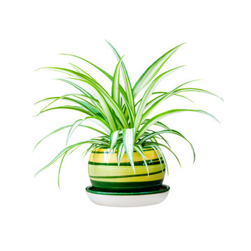 Chlorophytum comosum (also known spider plant) in a pot isolated on white background with clipping path