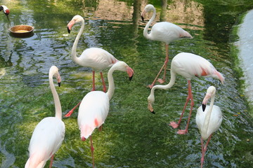 Flamants roses dqns l'eau
